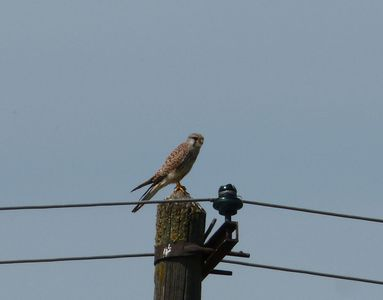 09.05.2020  ... und ein Turmfalke auf Strommast / ... and a common kestrel on a power pole Matthias Harnisch * Kunst & Natur