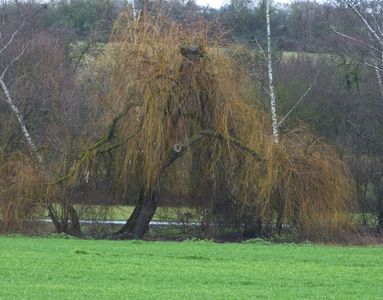 31.12.2020  Die Trauerweide am Bach, an der unser Sohn oft gespielt hat / The weeping willow at the rivulet, where our son used to play Matthias Harnisch * Kunst & Natur