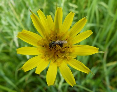 10.05.2020  Auf der Wiese: Wildbiene auf Bocksbart / On the meadow: Wild bee on goatsbeard Matthias Harnisch * Kunst & Natur