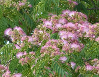 11.07.2020  Schöner Fremdling: Ein Seidenrosenbaum (Albizia julibrissin) in einem Garten nicht weit vom Pfad / Beautiful stranger: Persian silk tree (Albizia julibrissin) in a garden not far from the path Matthias Harnisch * Kunst & Natur