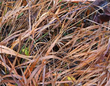 18.12.2020   ...und kupferfarbene Quecke am Wegesrand / ...and copper coloured couch grass on the wayside Matthias Harnisch * Kunst & Natur