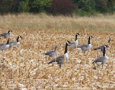 27.09.2020  Gänsetreffen (Kanada-Gänse und eine Graugans) auf dem abgeernteten Maisacker neben der Wiese / Meeting of geese (canada geese and one greylag goose) on the harvested maize field adjacent to the meadow Matthias Harnisch * Kunst & Natur