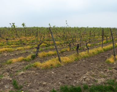 19.04.2020 Auf dem Heimweg: Würden Sie diesen Wein trinken wollen? Mit Herbizid abgespritze Wildvegetation unter den Rebzeilen. / On my way back home: Would you like to drink this wine? Hebicide used to kill the wild vegetation beneath the grapevines. Matthias Harnisch * Kunst & Natur