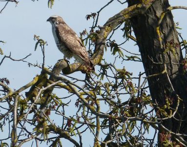 16.04.2020  Mäuse-Bussard auf einem Walnussbaum in der Nähe der Wiese / Common buzzard on a walnut tree near the meadow Matthias Harnisch * Kunst & Natur