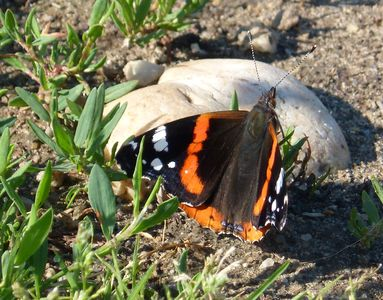 14.06.2020  Ein Admiral am Wegesrand... / A red admiral at the wayside... Matthias Harnisch * Kunst & Natur